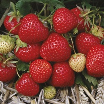 Elegance A+ Grade Strawberry Plants (Mid)