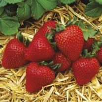 Everbearer Strawberry Plants Albion
