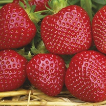 Strawberry Malwina A+ Grade Plants (Late Season)