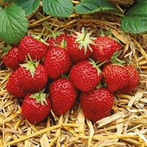 Strawberry Elsanta Plants (Mid Season)