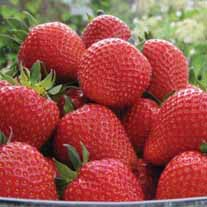 Strawberry Plants Sweetheart A+ Grade