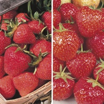 Heritage Strawberry Plants A+ Grade Collection