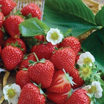 Strawberry Vibrant Misted Tip Plants