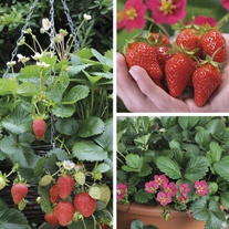 Hanging Basket Strawberry Plant Collection