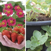 Strawberry Toscana F1 Plants & Easi-Plant Hanging Baskets