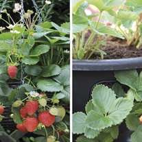 Strawberry Elan F1 Plants & Easi-Plant Hanging Baskets