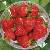 Strawberry Malling Centenary A+ Grade Plants