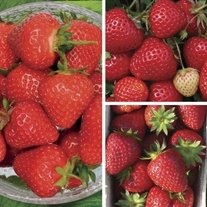 Strawberry Plants A+ Grade Collection - Season Long