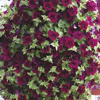 Petunia Surfinia Burgundy Flower Plants