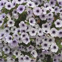 Petunia Surfinia Blue Vein Plants