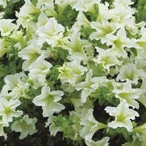 Petunia Surfinia Lime Plants