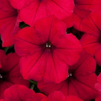 Petunia Surfinia Deep Red plants
