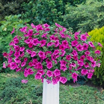 Petunia Surfinia Crazy Pink plants