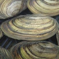 Swan Mussels