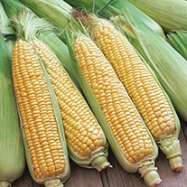 Sweet Corn Swift Plants