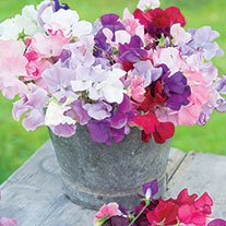 Sweet Pea Old Spice Mixed Flower Plants