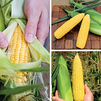 Sweet Corn Super Start Long Cropping Collection