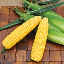 Sweet Corn Super Start F1 ACX SS7403RY