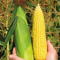 Sweet Corn Super Start F1 ACX SS7078Y