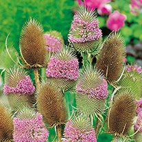 Teasel Wild Flower Plants