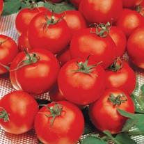 Tomato (Standard) Sparta F1
