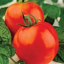 Tomato (Grafted) Supersteak (Beefsteak)