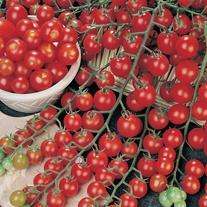 Tomato Favorita F1 Plants