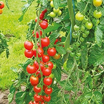 Tomato Super Sweet F1 Grafted Plants