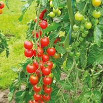 Tomato Supersweet F1 (Cherry) Grafted Plants