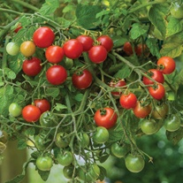 Tomato Losetto (Cherry) Veg Plants