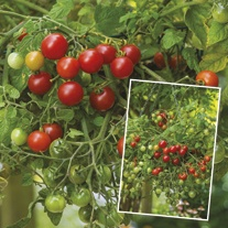 Tomato Losetto F1 Plants