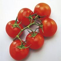 Tomato (Grafted) Vanessa (Standard) Plants