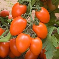 Tomato (Grafted) Kilates (Plum) plants