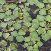 Trapa Natans Floating Pond Plant