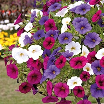 Trixi Calibrachoa Spirit Flower Plants