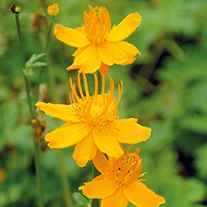 Trollius Golden Queen Plants