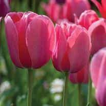 Tulip Menton Bulbs (Single Late)
