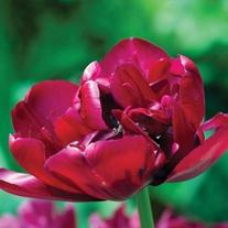 Tulip Antraciet Bulbs (Double Late)