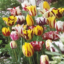 Tulip Rembrandt Mix Bulbs