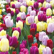Tulip Prince Mix Bulb