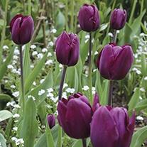 Tulip Recreado Bulbs