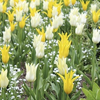 Tulip White Triumphator & West Point Bulb Collection