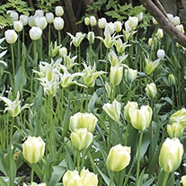 Key Lime Pie Tulip Bulb Collection