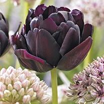 Tulip Black Hero Bulbs