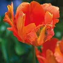 Tulip Orange Favourite (Parrot) Bulbs