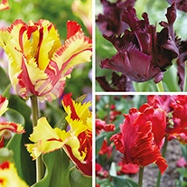 Parrot Tulip Bulb Collection
