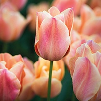 Tulip Stunning Apricot (Single Late) Bulbs