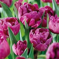 Tulip Blue Diamond (Double) Bulbs