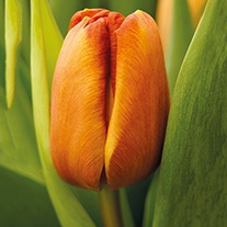 Tulip Brown Sugar (Triumph) Bulbs