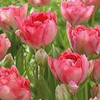 Tulip Candy Cane (Triumph) Bulbs